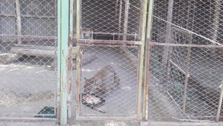 El complejo cipoleño La Chacra quiere adoptar al puma Pancho