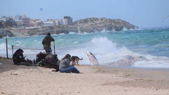 Guardia Ambientales y personal de Prefectura acordonaron el área donde apareció la ballena.