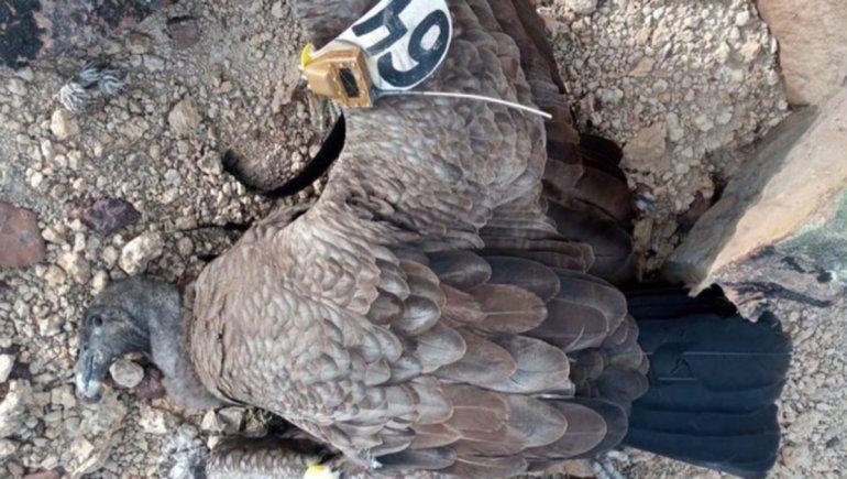Murió en Río Negro un cóndor andino por ingerir cebos tóxicos