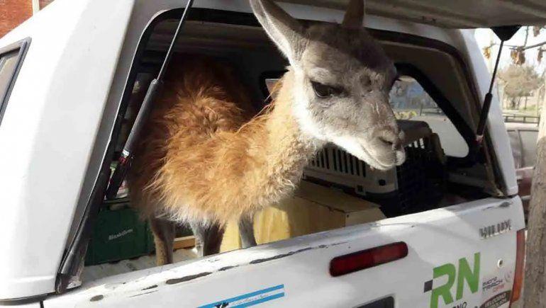 Rescataron a un guanaco que tenían de mascota en una casa