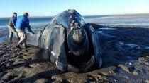 rio negro integra la red de varamientos de fauna marina