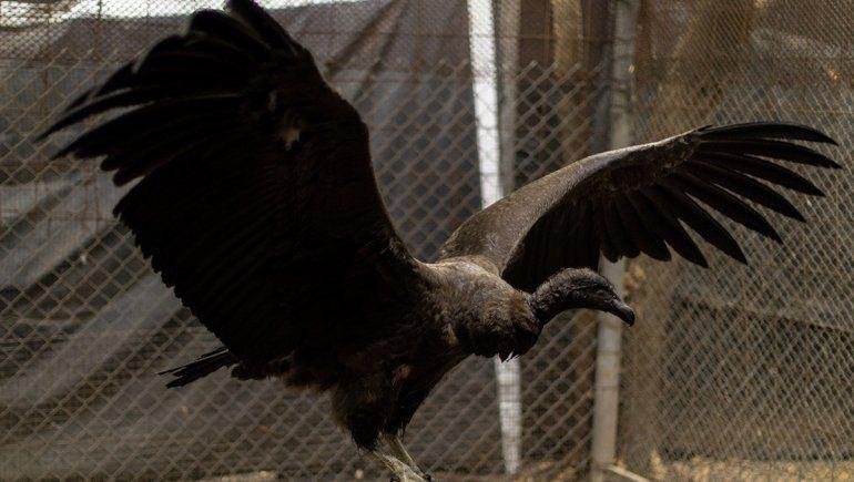Ultiman detalles para liberar a una cóndor hembra en Río Negro