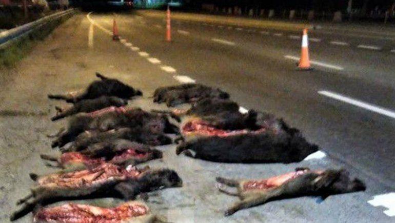 Ruta 22: decomisaron 18 chanchos jabalíes durante un control de tránsito