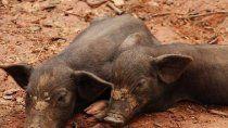 El cerdo es uno de los animales que provoca la triquinosis.