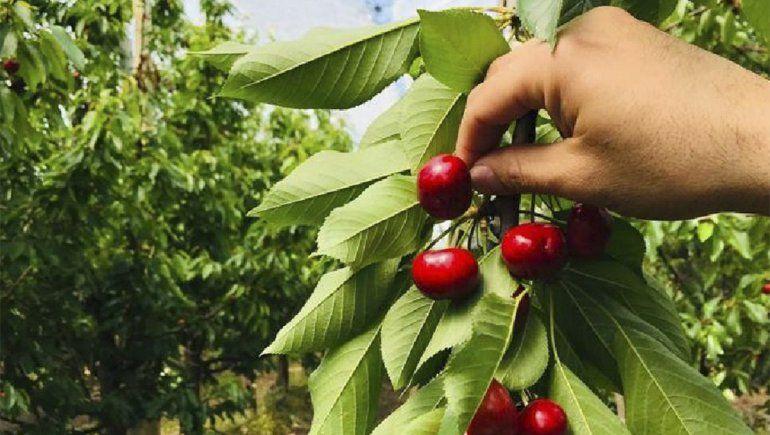 Llegan los primeros trabajadores para la cosecha de cerezas a Río Negro