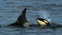 avistan por primera vez una cria de orcas frente a la costa rionegrina