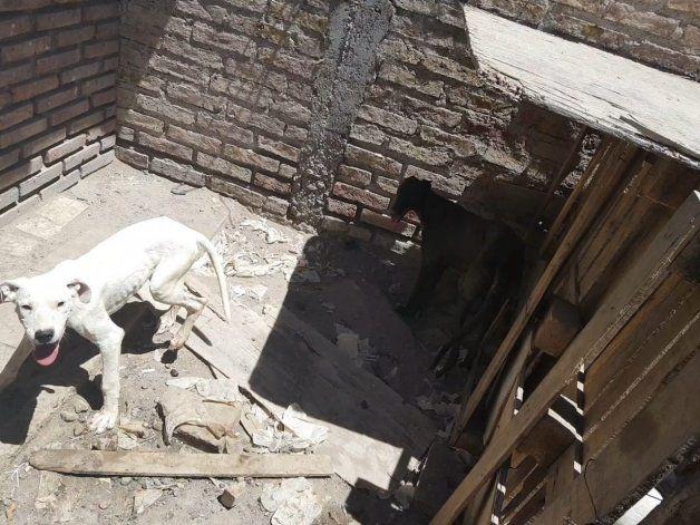 Lo acusan por crueldad animal tras hallazgo de galgos desnutridos y cachorros muertos