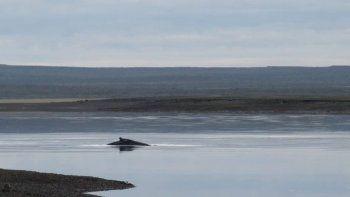 una ballena jorobada quedo varada en la ria de san antonio