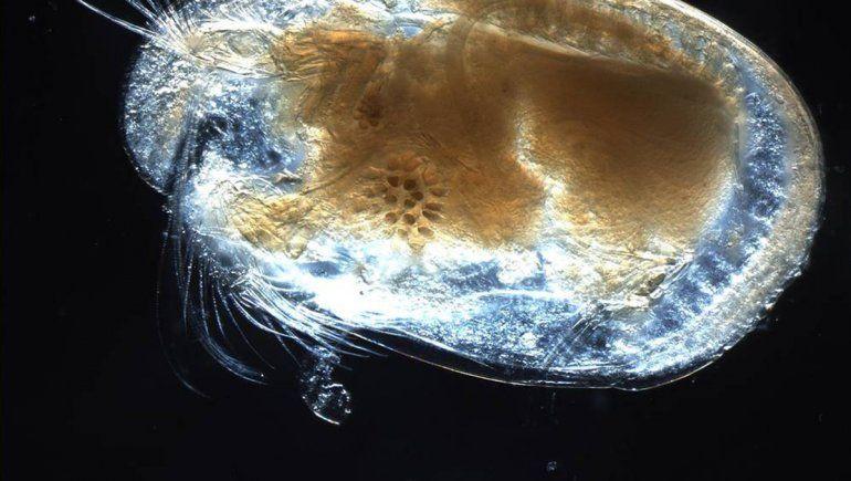 Hallaron el semen más antiguo en un ámbar en Myanmar