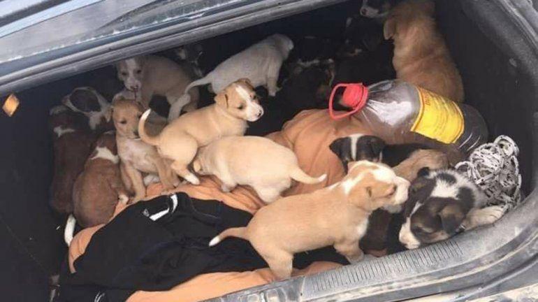 Fue al basural y rescató a 31 cachorros abandonados