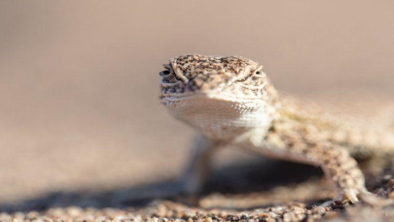Cipoleña del Conicet advierte sobre el riesgo de extinción de una lagartija en Vaca Muerta
