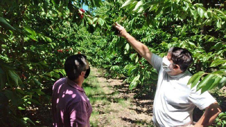 Avanza la cosecha de cereza en Valle Medio