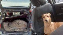 hallaron ovejas en un auto y detuvieron hasta el perro