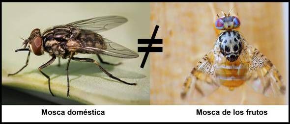 FunBaPa aclara: Las moscas que invaden nuestra región no son moscas de los frutos