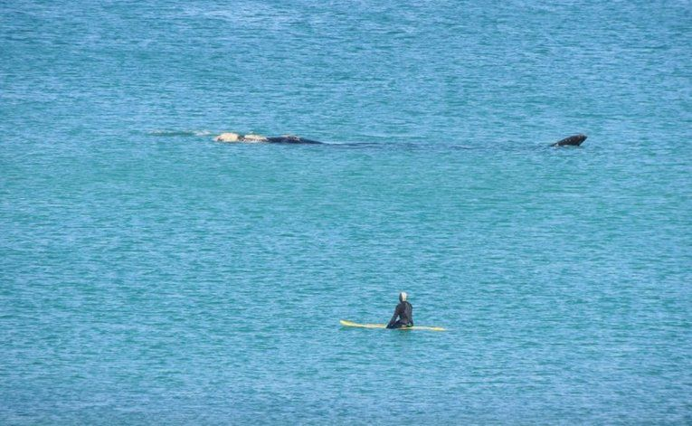 La ballena franca austra pasó a cerca distancia del surfista en Las Grutas.