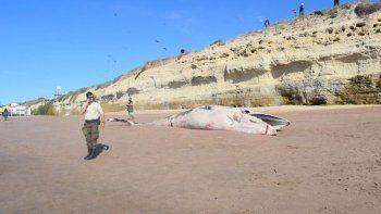 una ballena muerta aparecio en la playa de las grutas