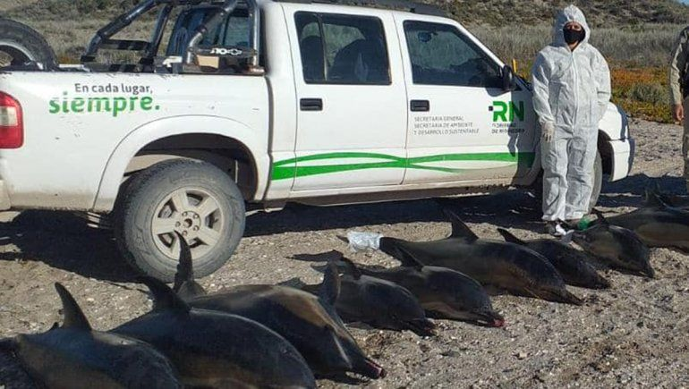 Hallaron a 15 delfines muertos en la costa de San Antonio