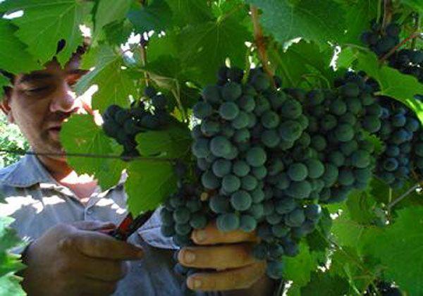 Se capacitará a pequeños y medianos productores del sector vitivinícola
