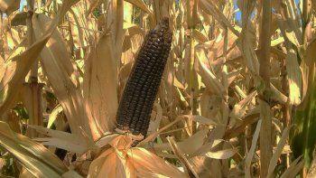 la unco creo una variedad de maiz que se adapta al valle