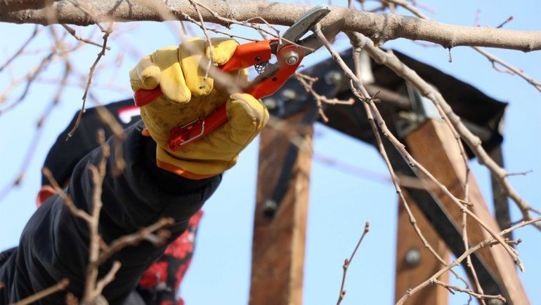 La falta de mano de obra complica la poda de las chacras