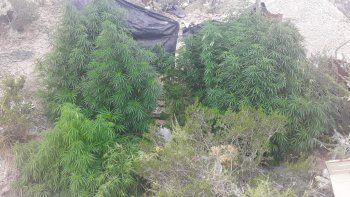 Las plantas de marihuana secuestradas en la toma.