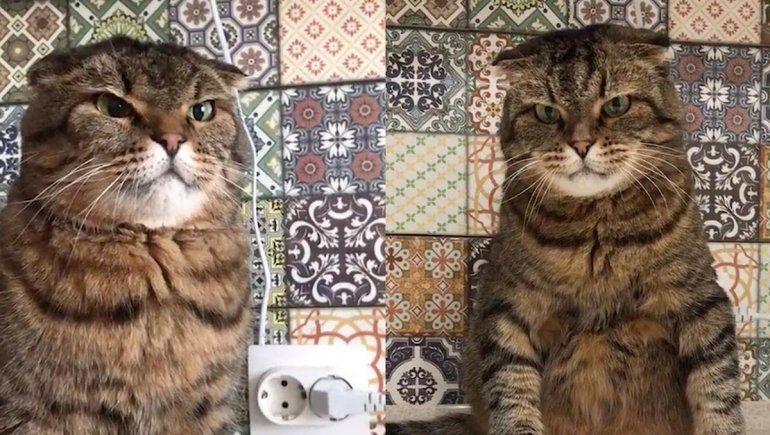 Este gato no deja de sumar reproducciones en YouTube