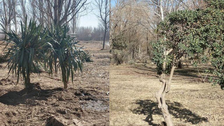 Aseguran que los arbustos de la Alem ya están plantados en el vivero municipal