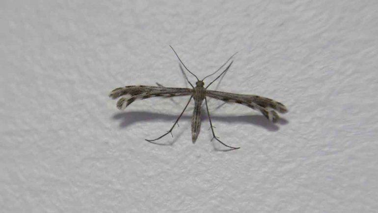 ¿Qué son los insectos que invadieron el Alto Valle?