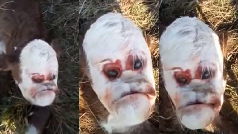 El nacimiento de un ternero con rostro humano convulsionó a un pueblo de Santa Fe