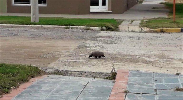En plena cuarentena, un peludo se paseó por el centro de San Antonio Oeste