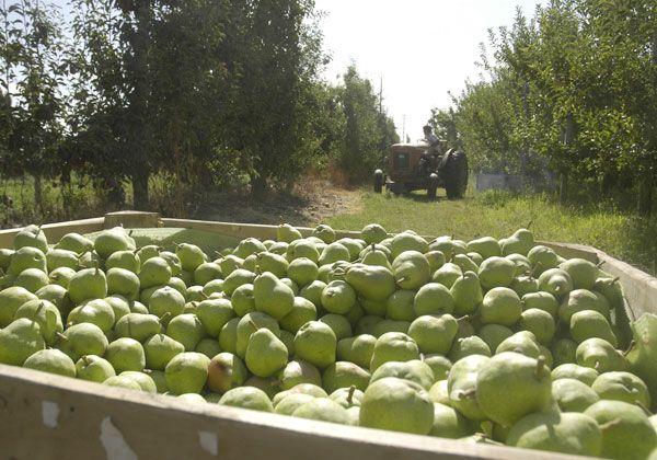 El productor es la variable de ajuste ante la crisis frutícola