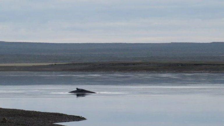 Una ballena jorobada quedó varada en la ría de San Antonio