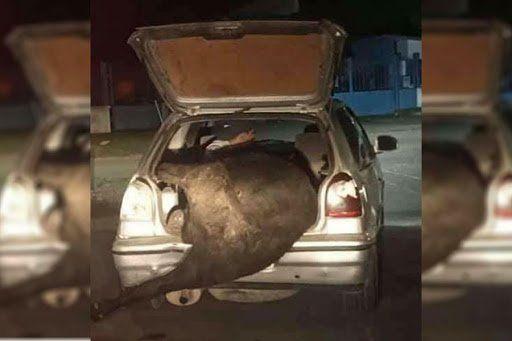 Volcó un camión y cargaron una vaca en el baúl del auto