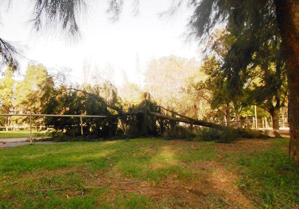 Se cayó un pino en el Parque Rosauer