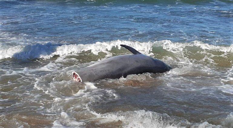Un delfín mutilado apareció en la playa de Las Grutas