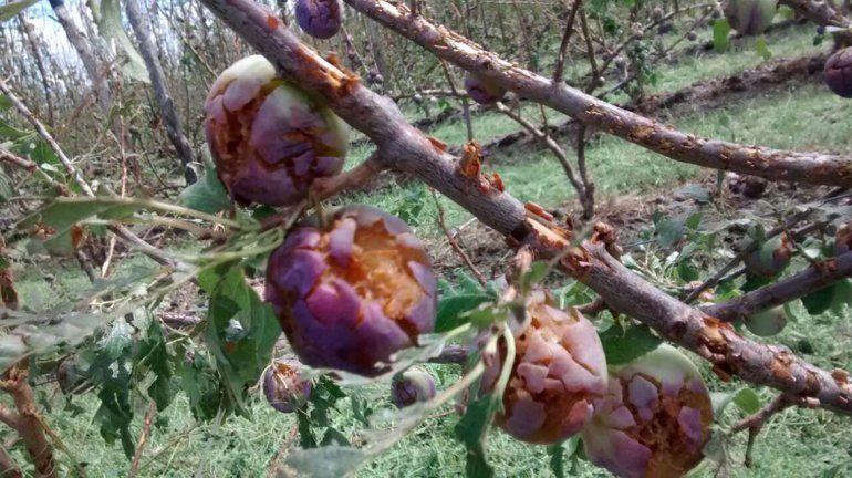 Carpocapsa: los chacareros piden fondos para plaguicidas