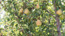 arranco la fiesta nacional de la pera, pero reinventada