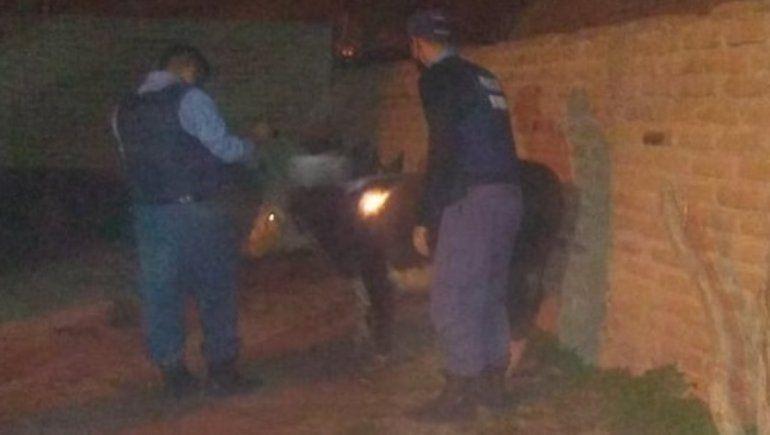Robaron una vaca y los atraparon metiéndola a una casa