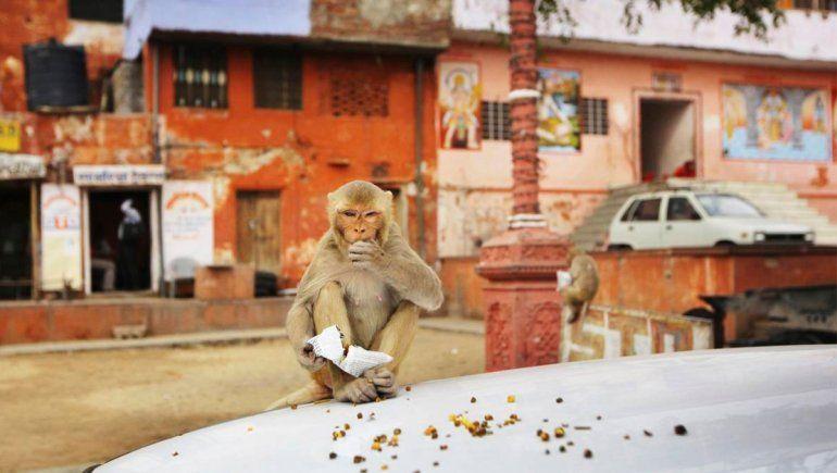 Monos secuestraron y mataron a una bebé