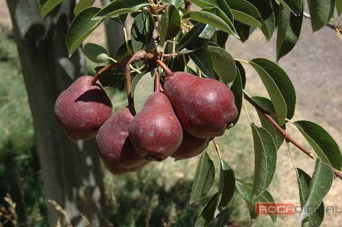 Avanza la madurez en peras