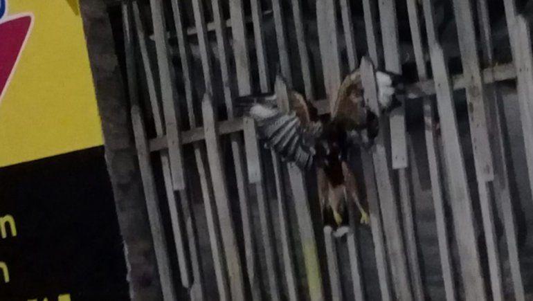 Fernández Oro: le colgaron un pájaro muerto en la reja del local