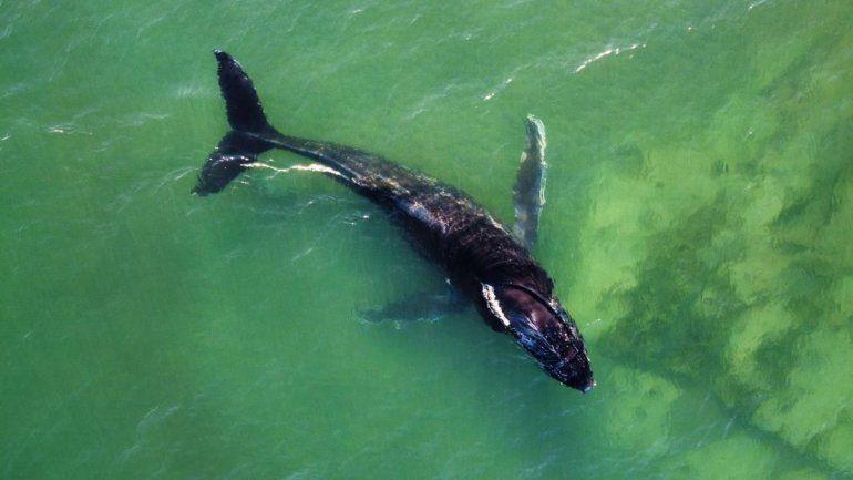 El ejemplar de ballena jorobada observado en la costa rionegrina. Foto gentileza Nicolás Cetra.