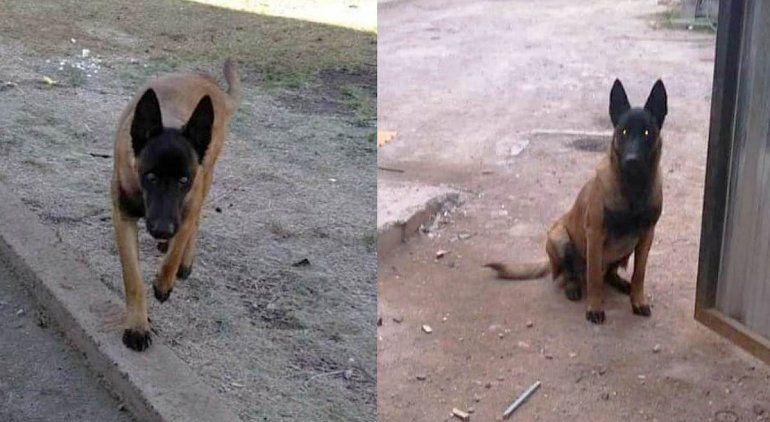El perro es un Pastor Belga Malinois con pelaje marrón y negro.