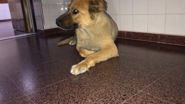 Teo, el perro que espera por su dueño en un hospital de Neuquén