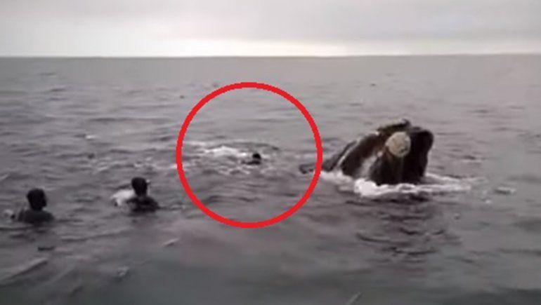 ¿Qué leyes quebrantaron los buzos que intentaron montar una ballena franca?