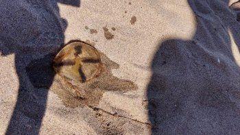 Cuando rotó el viento y bajó la temperatura, innumerables ejemplares quedaron muertos en la playa.