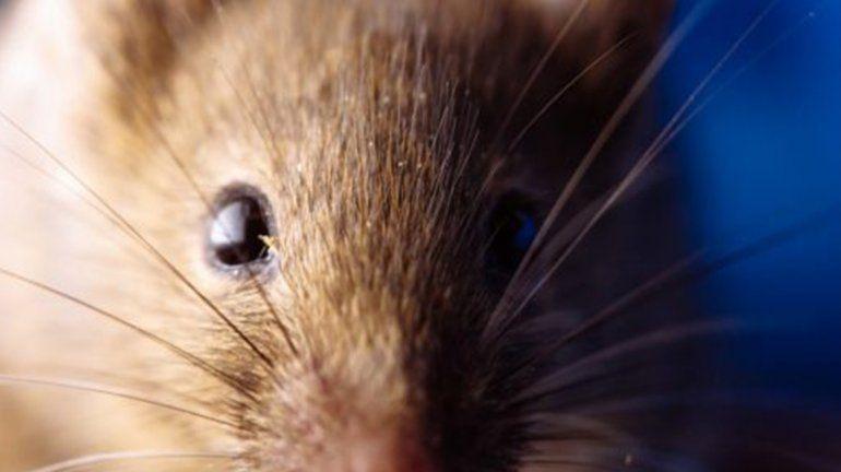Confirman un caso de hantavirus en Bariloche