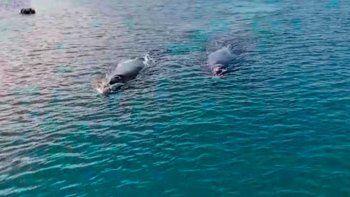 asi llegan las primeras ballenas a la costa de rio negro