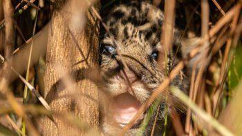 La tierna imagen de los cachorros de yaguareté que nacieron en Esteros de Iberá