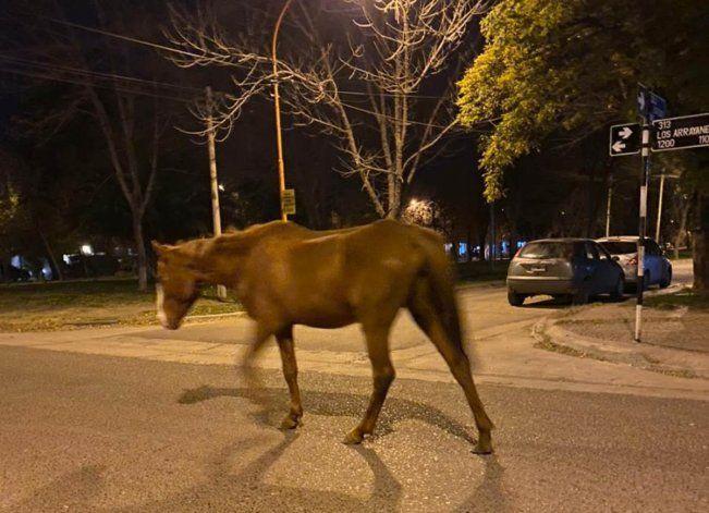 Caballos sueltos en barrios de Cipolletti, sorpresa y riesgo